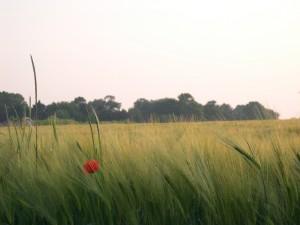 A poppy in a field in Normandy